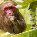 Scimmia mangia banane